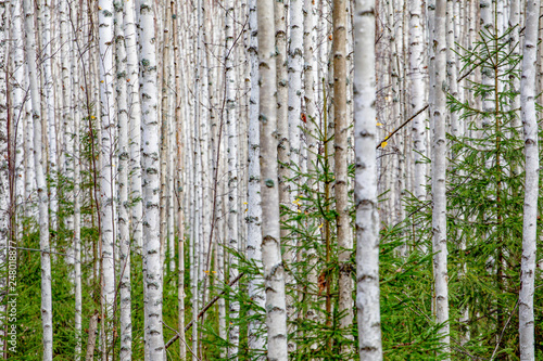 Birch forest. White tree trunks in autumn