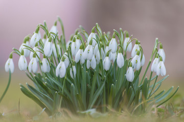 Panel Szklany Natura snowdrops on white background