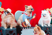 Funny Dogs Wearing Sunglasses Sitting On Chair. They Sing A Song And Play Guitar