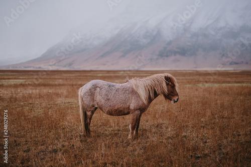 Fotografie, Obraz  Caballo en Islandia