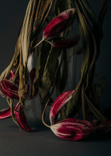Dead Tulips In Milk Bottle Aga...