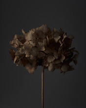 Hydrangea Seed Head.