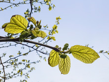 White Mulberry Inflorescences