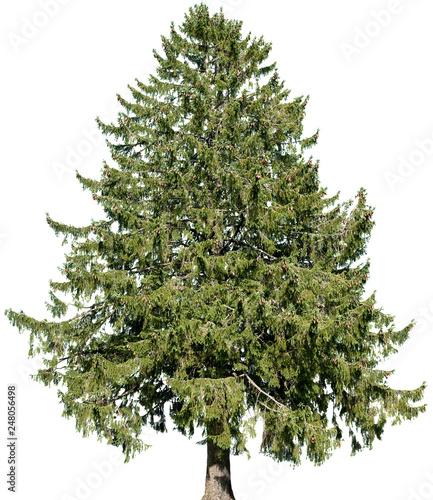 Picea abies -  Gemeine Fichte Wallpaper Mural