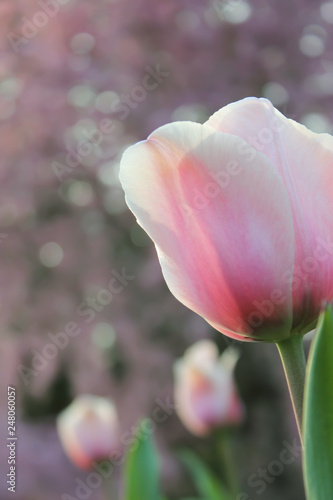Photo  Pink tulip close-up with soft, out of focus background
