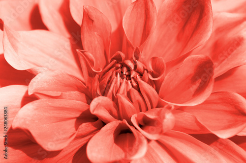Cadres-photo bureau Dahlia Dahlia flower closeup in main trendy Living Coral color of the year 2019