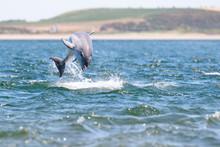 Playful Wild Bottlenose Dolphin Tursiops Truncatus