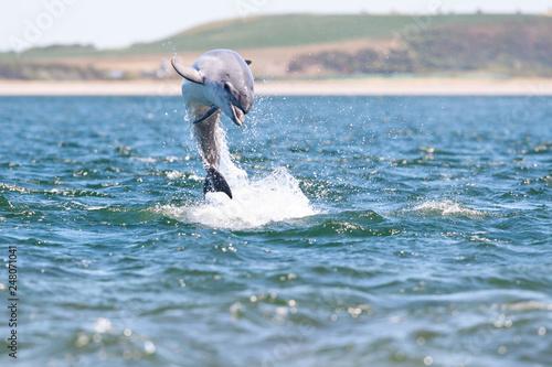 Fotografie, Obraz  Playful wild bottlenose dolphin tursiops truncatus