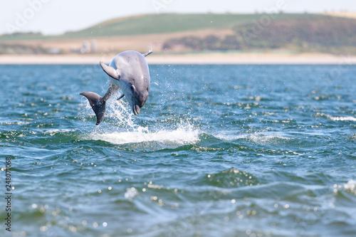 Slika na platnu Playful wild bottlenose dolphin tursiops truncatus