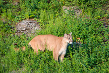 Mountain Lion Walking Through ...