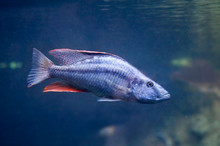 Dimidiochromis Compressiceps Fish