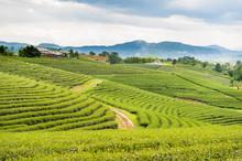 A Beautiful Tea Plantation At Doi Mae Salong,  Chiang Rai, Thailand