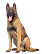 canvas print picture - Belgian Shepherd Dog, malinois dog on Isolated White Background in studio