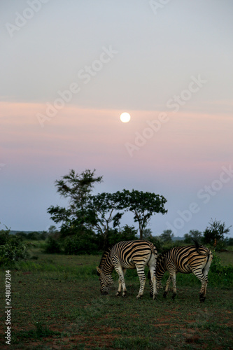 Kruger National park サファリ シマウマ