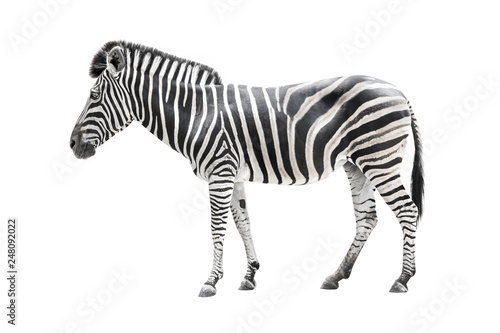 Poster de jardin Zebra zebra isolated on white