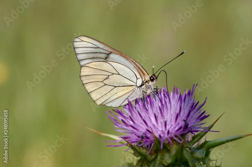 Plakat Kwitnący motyl głogu