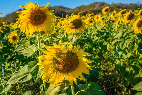 Fotografia  sunflower bright blue sky