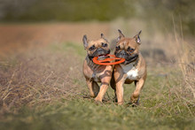 Action Shot Of Two Fawn French...