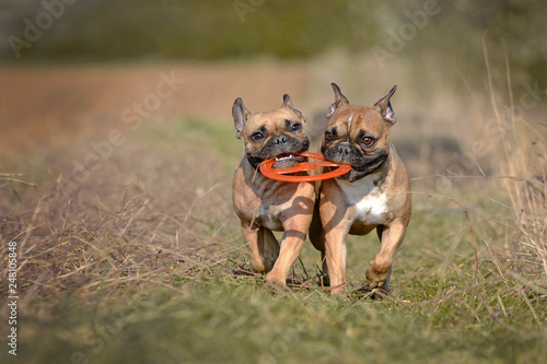 Deurstickers Franse bulldog Action shot of two fawn French Bulldog dogs running towards camera while holding a frisbee toy together in their muzzle