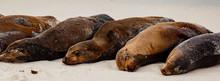 Galapagos Sea Lion Pod Of 6 Resting