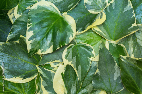 Fotomural Сlose-up of Algerian ivy (Hedera Algeriensis)  leaves
