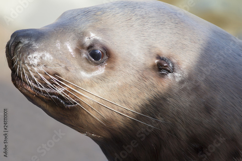 Photo  Head shot of a male Steller sea lion on a light background