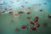 A Pool Of Baby Sea Turtles All...