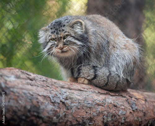 Fotomural Pallas's cat (Otocolobus manul)
