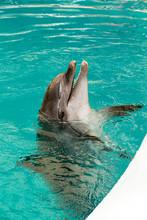 Common Dolphin Portrait While ...
