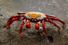 Sally Lightfoot Crab  On Rock