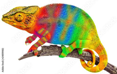 Foto op Plexiglas Kameleon Caméléon bigarré sur branche sèche