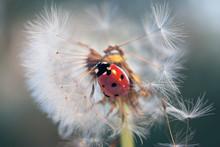 On Dandelion Climbed Ladybug A...