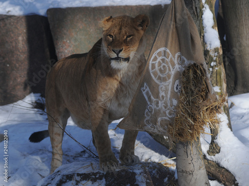 Lioness rips a bag of straw in the Kiev Zoo, January 26, 2018 This day in the Ki Wallpaper Mural