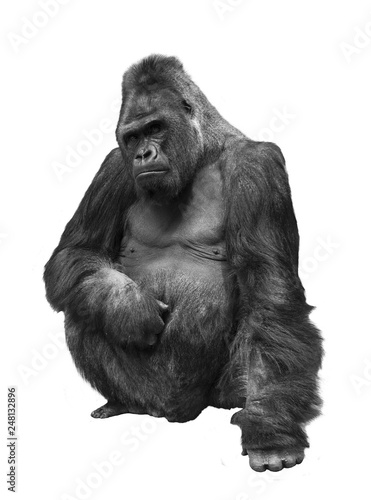 Gorilla, the family of primates on white isolated background
