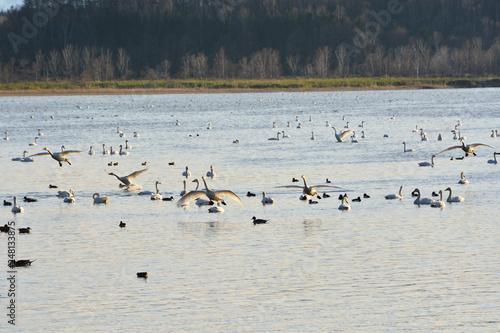 Fotografie, Obraz  着水する白鳥