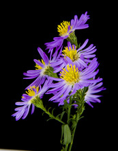 Alpine Aster Isolated On A Black Background