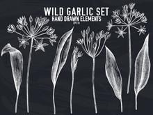 Vector Collection Of Hand Drawn Chalk Wild Garlic