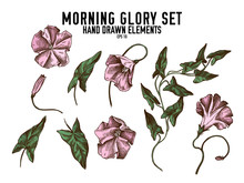 Vector Collection Of Hand Drawn Colored  Morning Glory