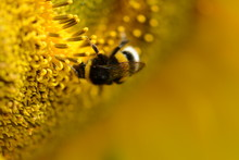 Bumblebee On Yellow Sunflower, Macro Photo. Shallow Depth Of Field, Bokeh And Soft Focus. Pollen On Bee's Legs. Sunny Summer Day