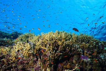 Fototapeta na wymiar Coral Reef at the Red Sea Egypt