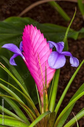 Tillandsia Cyanea Pink Quill Plant An Autumn Pink Flower