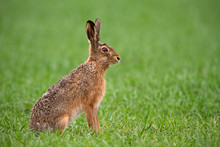 European Brown Hare, Lepus Europaeus In Summer With Green Blurred Background. Detailed Close-up Of Wild Rabbit.