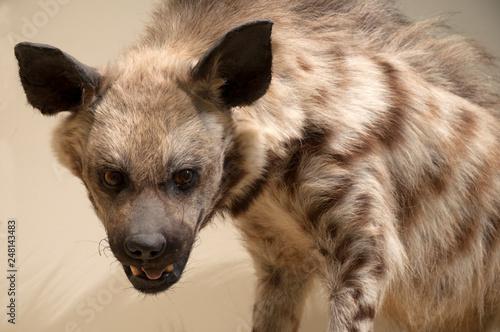 Fotografia, Obraz Animals, hyena