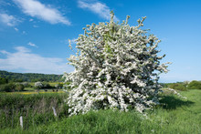 May Tree In Bloom