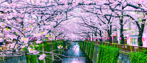 Spoed Foto op Canvas Purper Beautiful Sakura or Cherry blossoms at Meguro river in Tokyo, Japan