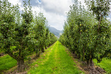 Pear Tree Orchard On A Beauti...