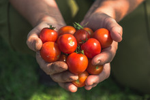 Cherry Tomato. Farmer With Harvested Tomatoes. Farm Fresh Produce From The Garden, Organic Farming An Bio Food Concept.
