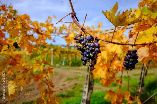 Photo Late harvest Montepulciano d'Abruzzo vines