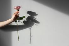 Female Hand Holding Rose On Light Background