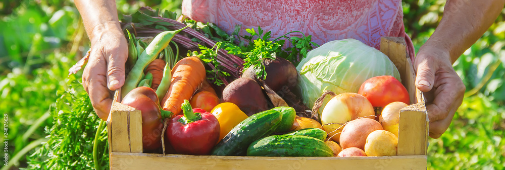 Fototapety, obrazy: grandmother in the garden gather the harvest. Selective focus.